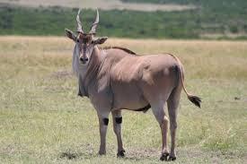 common-eland