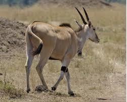 common-eland2