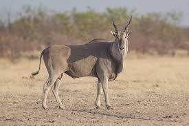 common-eland3