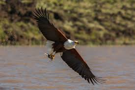 fish-eagle2