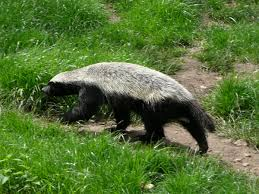 honey-badger2