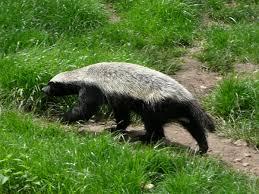 honey-badger2