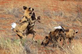 wild-dog4
