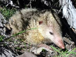 common tenrec