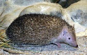 common tenrec2