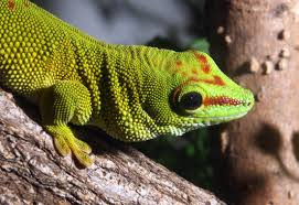 day gecko