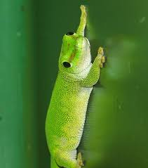 day gecko2