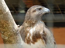 madagascar buzzard