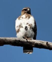 madagascar buzzard2