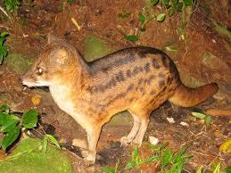 malagasy civet