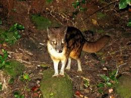 malagasy civet2