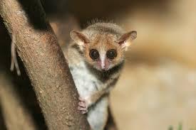mouse lemur2