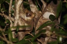 mouse lemur3