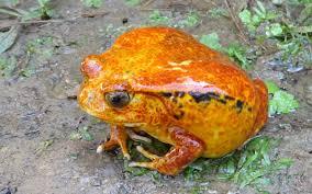 tomato frog3