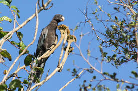 vasa parrot3