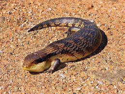 great desert skink2