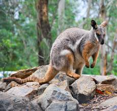 rock wallaby2
