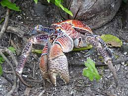 coconut crab2