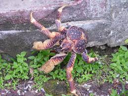 coconut crab3