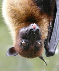 flying fox2