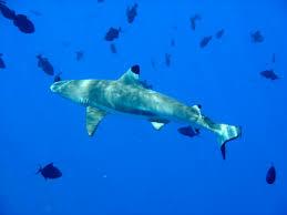reef shark2