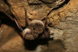brown bats2