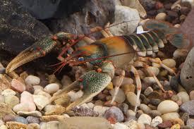 cave crawfish