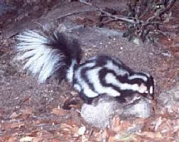 spotted skunk2