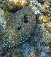 peacock flounder2