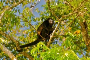 Mantled Howler Monkey (Alouatta palliata) howling, in Tortuguero, Costa Rica