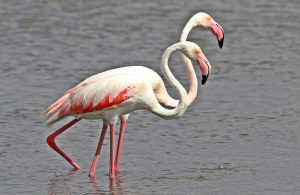Greater Flamingo, Phoenicopterus roseus at Marievale Nature Rese