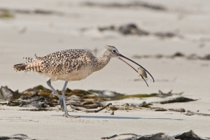 2 of 5 Long-billed Curlew (Numenius americanus) bird eating sand